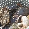 lummi island Dungeness crab