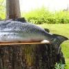 lummi island salmon
