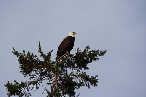 lummi island bald eagle by david v bailey