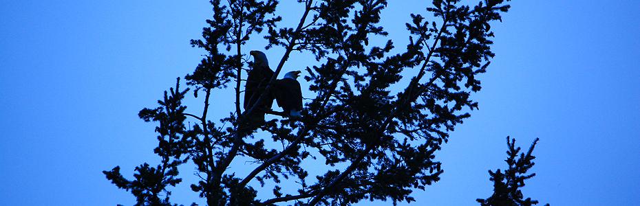 bald eagles on lummi island by dave bailey