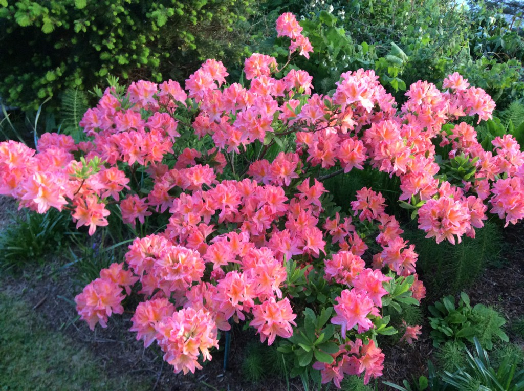 Rhododendrons at Lummi Island Beach Haven