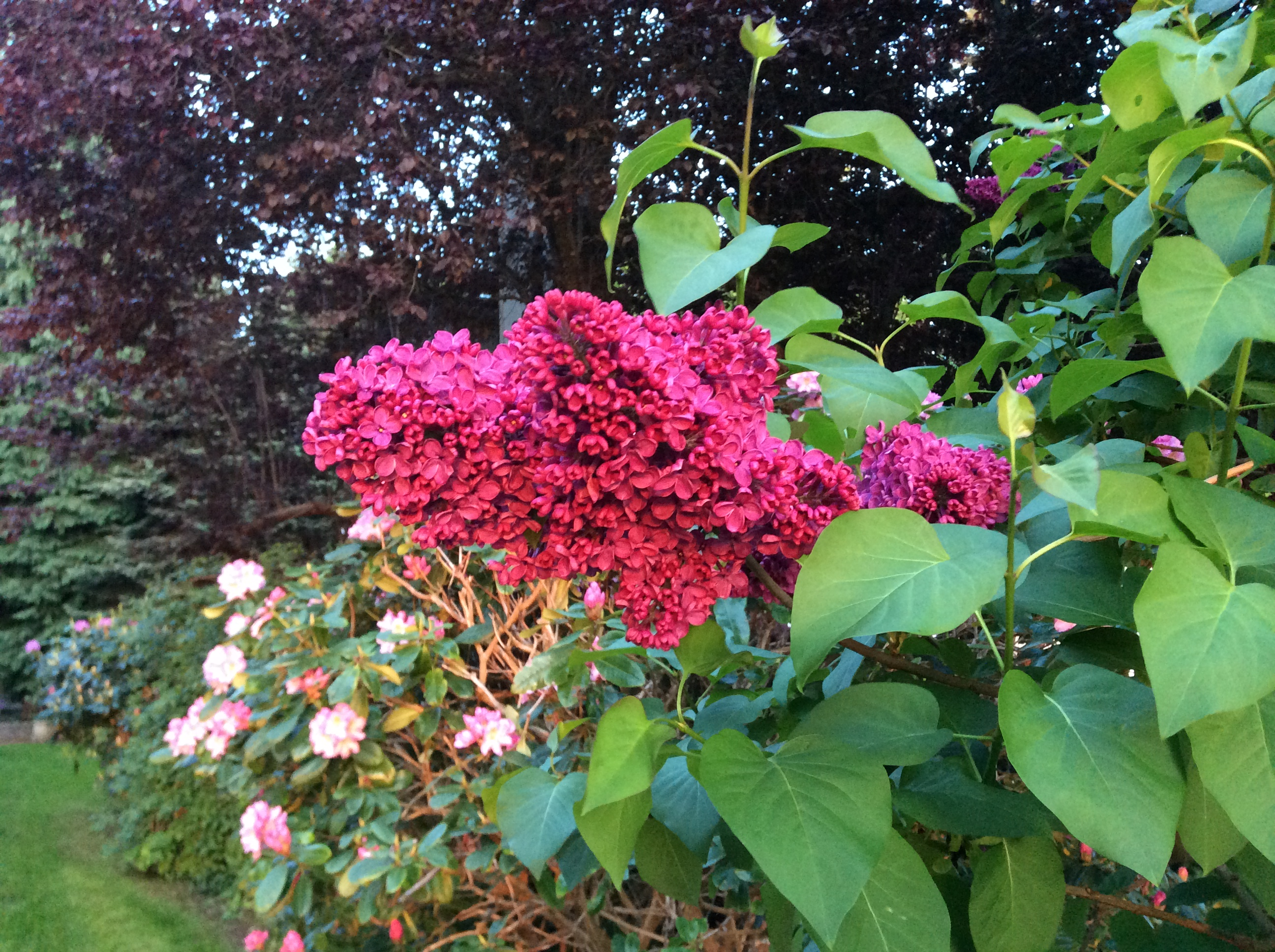 Lilac blooming in front yard Lummi Island Beach Haven May 2014. By David Bailey