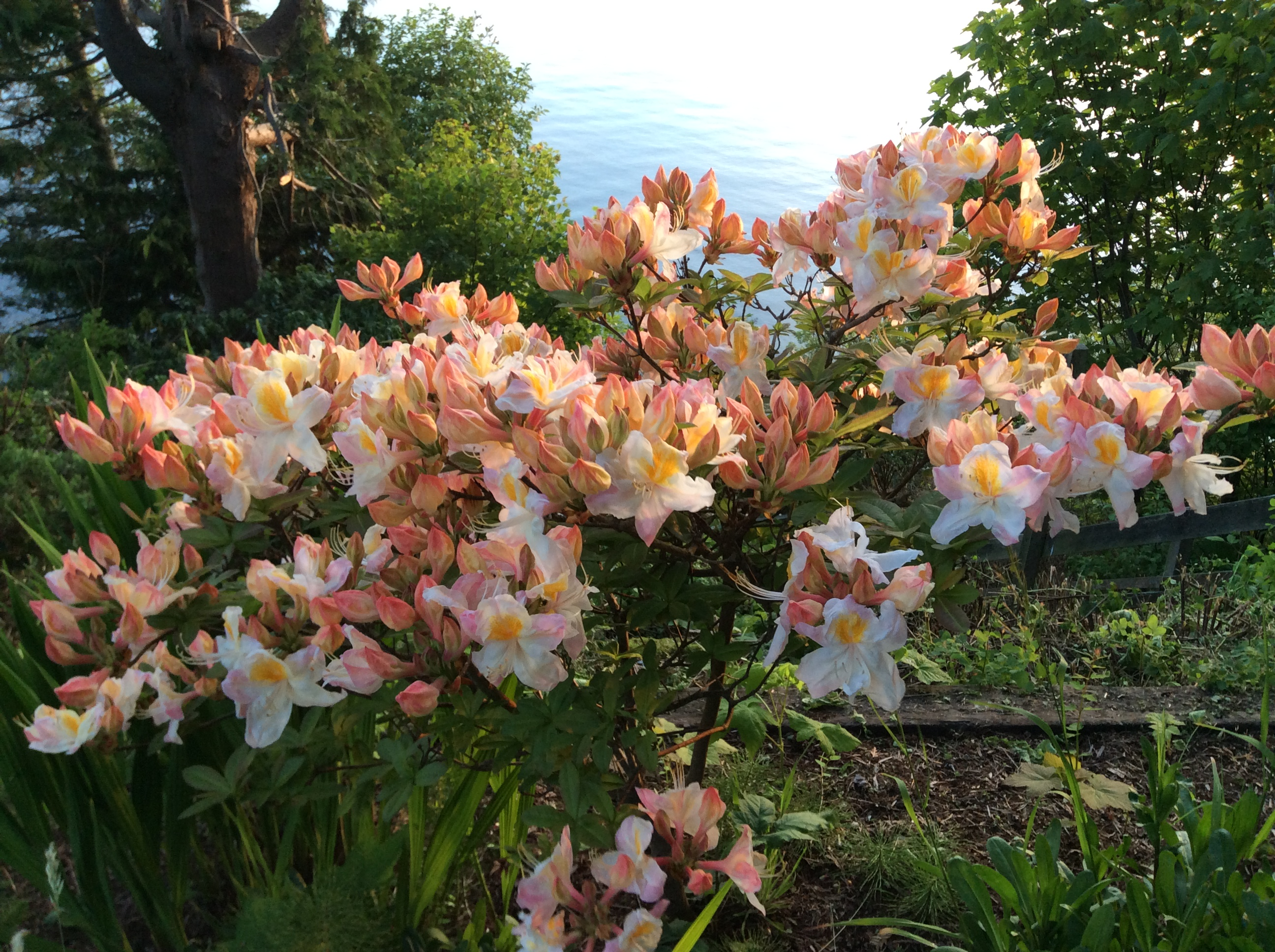 Azaleas blooming in front yard Lummi Island Beach Haven May 2014. By David Bailey