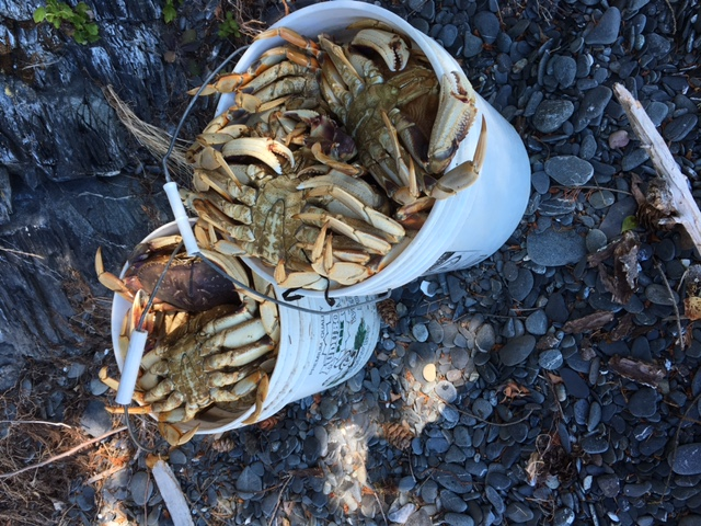 dungeness crab lummi island harvest