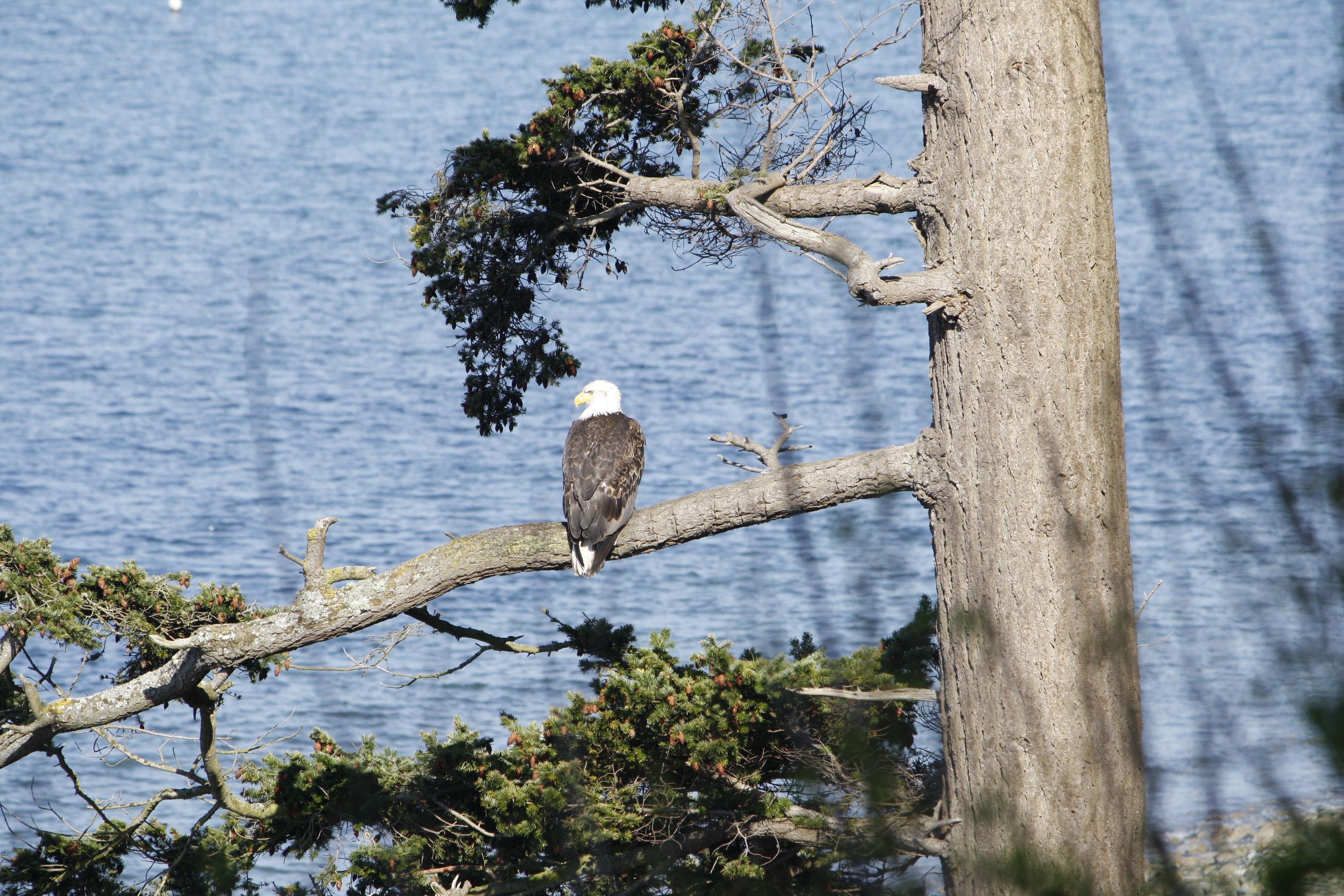 Bald eagle roosting Lummi Island